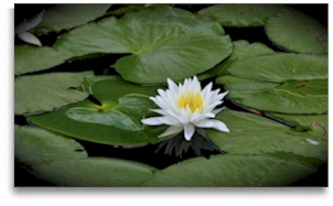 Water lily at Rasayana Cove Ayurvedic Retreat